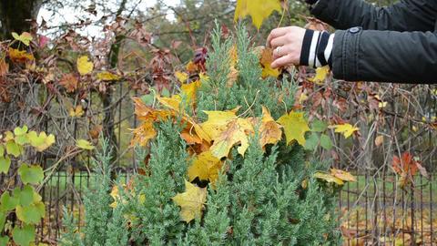 woman hand clean autumn tree leaf decorative thuja bush garden Footage