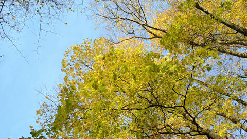 beautiful autumn maple tree branch leaves move wind blue sky Footage