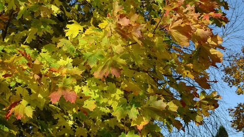 closeup autumnal maple tree branch red yellow color leaves Footage