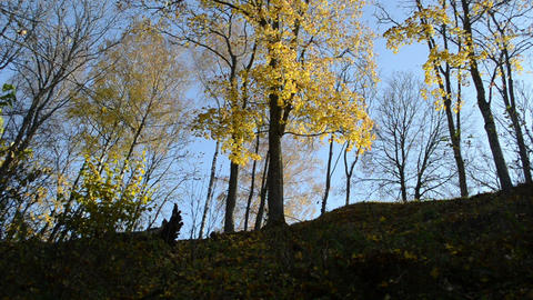 autumn color beautiful sunlighted trees move wind high hill Footage