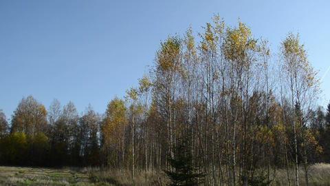 birch tree forest leaf fall down move wind Footage