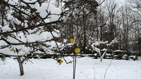 apple fruits covered snow hang winter garden tree branch Footage
