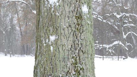 old tree trunk bark closeup snowball hit crash throw snow winter Footage
