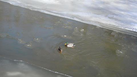 mallard duck birds (anas platyrhynchos) swim winter river water Footage