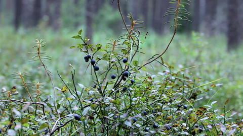 blueberries in nature Stock Video Footage