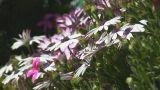 Jerusalem flowers 2 Footage
