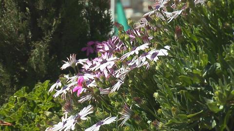 Jerusalem flowers 2 Stock Video Footage