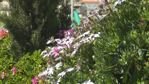 Jerusalem flowers 2 Stock Video Footage