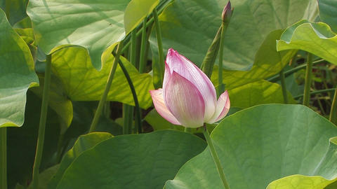 The flower of Lotus in Showa Kinen Park,Japan Stock Video Footage
