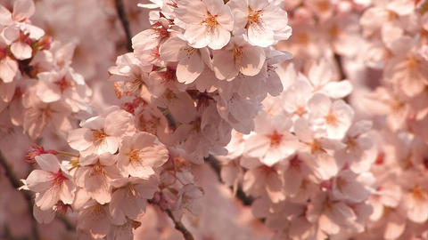 Cherry blossoms,in Showa Kinen Park,Tokyo,Japan Stock Video Footage