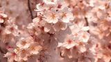 Cherry blossoms,in Showa Kinen Park,Tokyo,Japan Footage