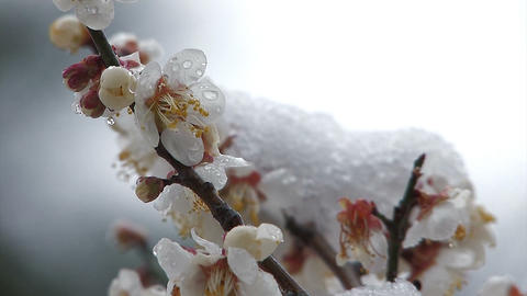 The flower of a Plum which wore snow,in Oume Japan Stock Video Footage