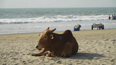 Cow on the beach Stock Video Footage