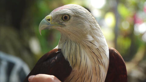 Hand eagle Stock Video Footage