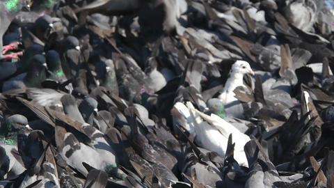 Flock of pigeons Stock Video Footage