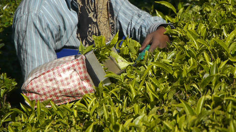 Female tea-pickers in Munnar, India Stock Video Footage