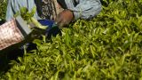 Female tea-pickers in Munnar, India Footage