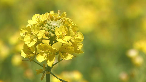 Spring flower,Rapeseed,in Asuka,Nara,Japan_2 Stock Video Footage