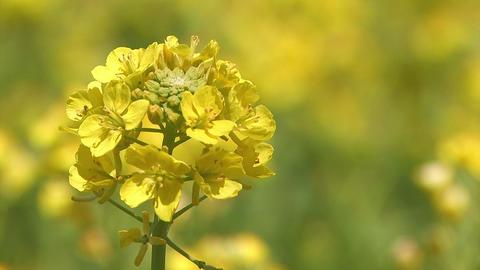 Spring flower,Rapeseed,in Asuka,Nara,Japan_2 Stock Video Footage