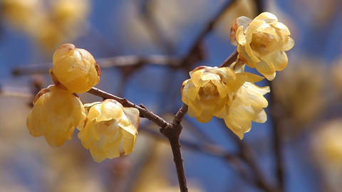 Flower of a Winter Sweet in Nagatoro,Saitama,Japan Stock Video Footage