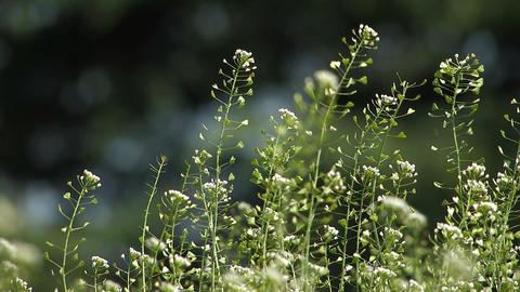 Flower of shepherd\'s purse,in Showa Kinen Park,Tokyo,Japan Stock Video Footage