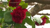 Red flower of a Camellia in Yamanobe road,Nara,Japan Footage