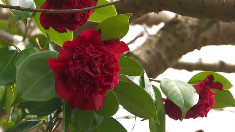 Red flower of a Camellia in Yamanobe road,Nara,Japan Stock Video Footage