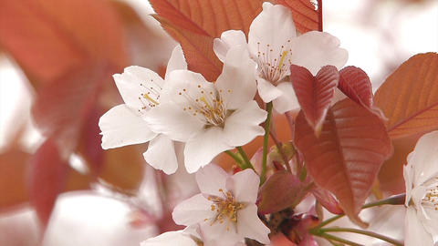 Cherry blossoms of the Mt.Yoshino,Nara,Japan Stock Video Footage