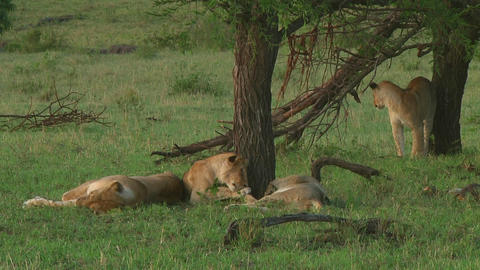 Lion pride Stock Video Footage
