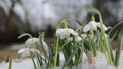 spring snowdrop snowflake flowers blooms between snow in forest Footage