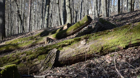 uprooted large mossy trees on the old dry leaves Footage