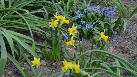 Blooms of yellow narcissus flower move spring wind blue flowers Footage