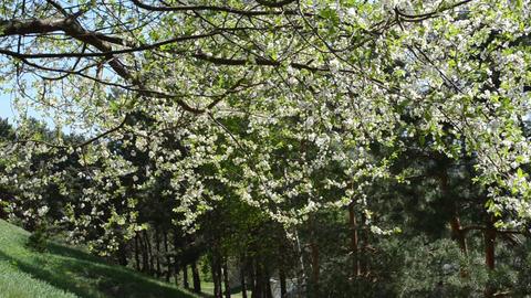 White apple tree twig branch blooms petal fall down in wind Footage