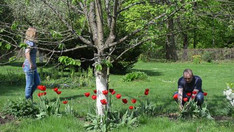boyfriend pick tulip flowers give girlfriend spring garden Footage