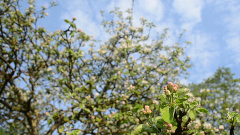 apple fruit tree branch bloom buds clouds passing on background Footage