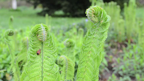 Closeup of fern leaves and buds with red bug move in wind Footage