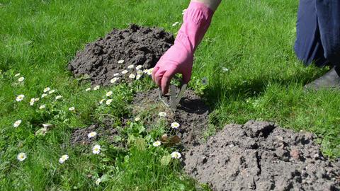 Gardener man check mole trap Footage