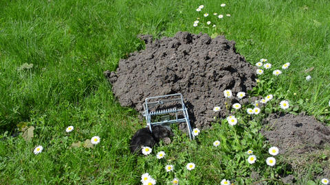 Mole caught with special trap near mole hill and daisy flowers Footage