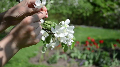 Woman hands gather pick apple tree blooms in spring garden Footage