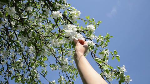 Woman hands pick apple tree blooms petal on blue sky in spring Footage