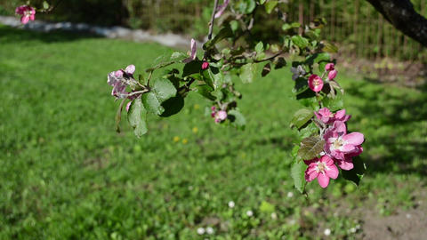 Red apple tree branch flower blossom move in wind at spring time Footage