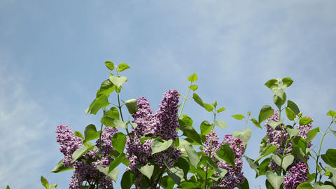 Violet lilac tree twigs with blooms move in wind on sky Footage