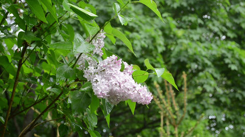 Wet lilac tree blooms closeup after rain water drops fall Footage