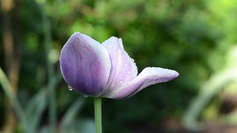 morning dew water drops on decorative purple tulip flower bloom Footage