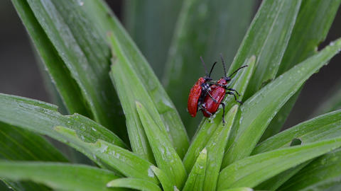 Pair scarlet lily beetles mating colugating on dewy plant leaves Footage