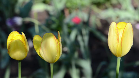 closeup of yellow tulip flower blooms and morning dew water drop Footage