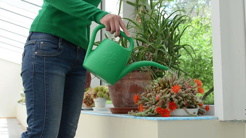 woman watering cactus plants with watering-can in greenhouse Footage