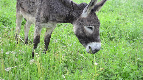 Cute wet donkey animal tied with chain graze in pasture grass Footage