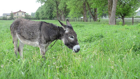 Cute wet donkey animal graze in pasture grass and car go on road Footage