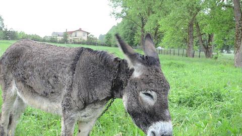 Donkey muzzle closeup and farmer woman girl hand feed him grass Footage
